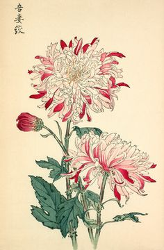 Printed illustration of a chrysanthemum variety 'Azuma Shibori' taken from the Japanese publication A Hundred Chrysanthemums by K Hasegawa.   Creator  Hasegawa, Keikwa (Author) Date  1891