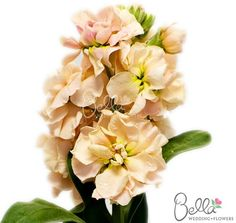 19 best stock flowers images on pinterest stock flower bright el aleli peach flower is a fresh and easy accent flower boasting several inches of blooms and a long leafy stalk in spanish el aleli means stock flower mightylinksfo
