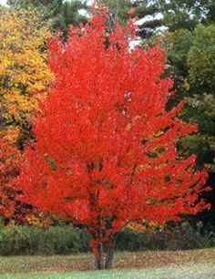 American Red Maple Tree on Fast Growing Trees Nursery Garden Trees, Lawn And Garden, Garden Shrubs, Long Island, Autumn Blaze Maple, Red Maple Tree, Red Tree, Plum Tree, Gardens