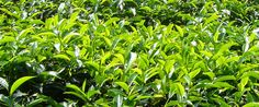 Workers and farmers in the multi-billion dollar tea industry face difficult conditions. Fairtrade works to change that. Love And Marriage, Fair Trade, Sri Lanka, Herbs, Tea, Plants, Products, Fair Trade Fashion, Herb