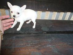 Cachorro chihuahua (chiguagua) - Criadero Cantillana