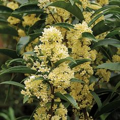 Sweet Olive 'Fudingzhu' (Osmanthus fragrans)This new cultivar of Sweet Olive is remarkable for its large, fragrant bloom clusters. It flowers so heavily that the blossoms totally encircle the branches, and the leaves seem to emerge from the large bunches of white fragrant flowers.