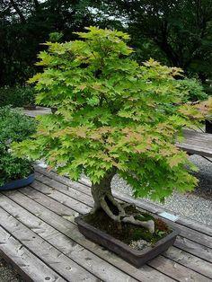 Really took interest in the Bonsai plants and trees. Bonsai Acer, Maple Bonsai, Ikebana, Plantas Bonsai, Bonsai Garden, Garden Trees, Succulent Planters, Hanging Planters, Succulents Garden