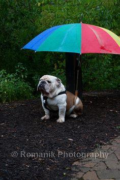 "Bulldog and Umbrella - Inkjet Print 12"" x 18"" - Animal Photography - Fine Art Print"