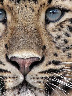 Stunning close-up of an Amur Leopard! Beautiful!