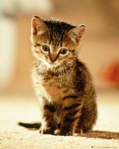 Kitten - Sitting - Official Mini Poster
