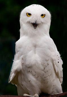 947bf55a0abf06 Bird Educator (Explored) by Douglas Brown, via Flickr Gufo Delle Nevi, Api