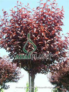 Ada Plant
