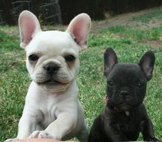 8 Facts About French Bulldogs That Make Them Unique – AngusPo