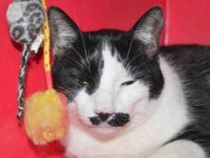MR STASCHE is an adoptable Domestic Short Hair Cat in Martinez, CA.  ...