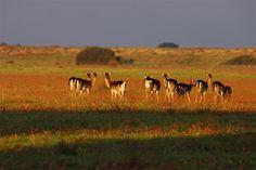 Parco Naturale della Maremma Residence Residenza Principina Fallow deer in Maremma's Parco Naturale della Maremma