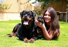 9 Reasons You Should Cuddle Your Rottweiler More Often - Wiki Dogs Rottweiler Dog Breed, Rottweiler Love, Big Dogs, Cute Dogs, Dogs And Puppies, Doggies, Beautiful Dogs, Animals Beautiful, Cute Animals