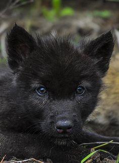 Baby Animals: Wolf                                                       …
