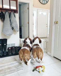 Basset butts...