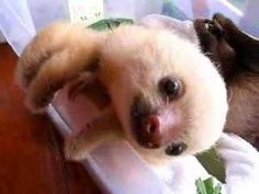 Baby sloths in Costa Rica