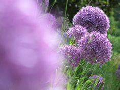 Allium (Zwiebel-Blüte) Botanischer Garten in Meran