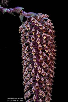 Bulbophyllum Beccarii | Bulbophyllum beccarii - Orchid Forum by The Orchid Source