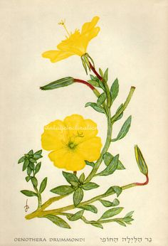 Evening Primrose young roots can be eaten like a vegetable, or the shoots can be eaten as a salad. Poulticed roots applied to piles and bruises. Tea made from the roots have also been used in the treatment of obesity and bowel pains. Leaves and bark which are made into evening primrose oil, known to treat :     multiple sclerosis      premenstrual tension      hyperactivity      eczema      acne      brittle nails      rheumatoid arthritis      alcohol-related liver damage