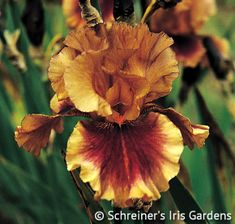 Here is a ruffled fantasy that will satisfy your quest for a truly different Iris. The coppery tan standards are subtly webbed with just a tinge of lilac. A...