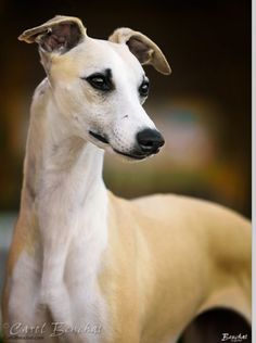 Whippet. {this looks a lot like my Whippet before we let her get spoiled & fat. It takes a lot of years & treats to make that happen! ~ Belle}