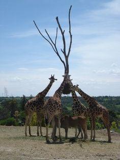 Africam Safari, outside of Puebla, Mexico.