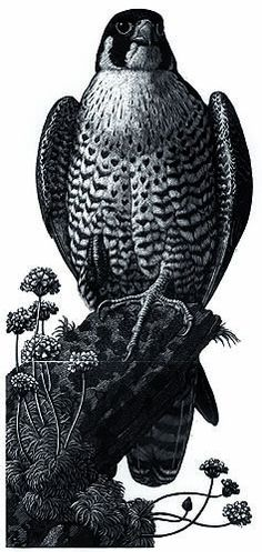 Peregrine by Charles F. Tunnicliffe