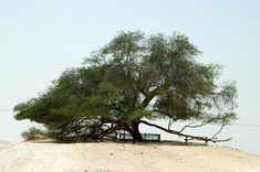 Tree of Life (Arabic: شجرة الحياة; transliterated: Shajarat al-Hayah) is a 400-year old mesquite tree in Bahrain which is considered a natural wonder. This unique tree stands alone in the desert about 1.2 miles (two kilometers) from the Jebel Dukhan.    The source of water for this tree still remains a mystery.  Rumor is that this was the Garden of Eden.