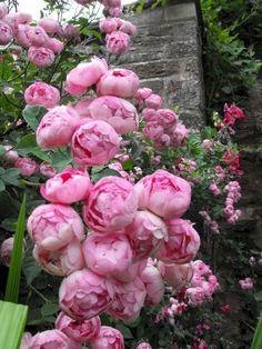 Admirable Eden Rose Garden To Enhance Your Beautiful Garden - Garten 2019