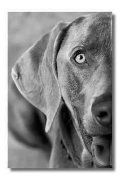 Weimaraner  William Wegman