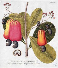 Anacardiaceae.