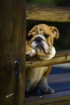 Bulldog Pup ~ Classic Look Bulldog Puppies, Cute Puppies, Dogs And Puppies, Baby Animals, Funny Animals, Cute Animals, Pet Dogs, Dog Cat, Doggies