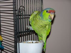 Lilac Crowned Amazon Parrot. Jazzy