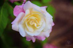 Natureza, flor, rosa, beleza
