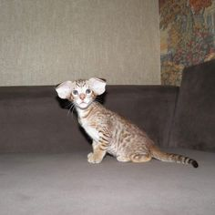 Oriental Shorthair, chocolate spotted tabby by Juampi* Puppies And Kitties, Cats And Kittens, Dogs, I Love Cats, Cool Cats, Oriental Shorthair Cats, Oriental Cat, Cat Character, Cute Cat Gif