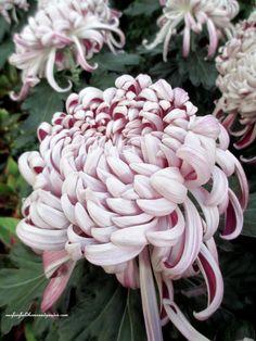 """Kokka Bunmi"" ~ Chrysanthemum Festival at Longwood Gardens http://ourfairfieldhomeandgarden.com/field-trip-chrysanthemum-festival-at-longwood-gardens/"