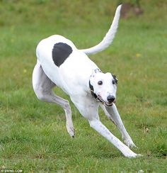 Retired racer in London baffles everyone by coming in last in all of his races. Turns out he is blind. Poor guy must have been scared! Someone across the pond needs to adopt this beautiful guy.