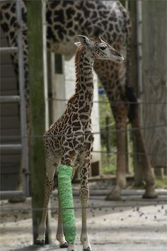 :/ how cute is this? poor thing. i love giraffes.