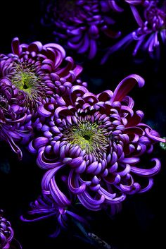 Spider Mums Purple Flowers