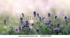 Lavender flowers in summer morning background . Purple growing Lavender with natural bokeh lights from morning dew on the grass close-up Growing Lavender, Lavender Flowers, Bokeh Lights, Close Up, Grass, Dandelion, Morning Dew, Stock Photos