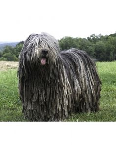 Bergamasco Shepherd: If you love a dog with dreads, this incredibly smart pup would be great.