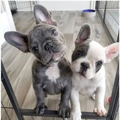 🐶 Are you one of the pug lovers or french bulldog lovers? 🐶 Source by manfredhinze The post Frenchie N Pug & Shop for Pug and French bulldog Lovers appeared first on Gwen Howarth Dogs. Cute Dogs And Puppies, Baby Dogs, Doggies, Pet Dogs, Cute Little Animals, Cute Funny Animals, Cãezinhos Bulldog, Baby Bulldogs, Cute French Bulldog