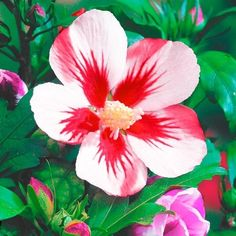 hibiscus flower and leaves paste for hair Natural Antidepressant, Hollyhock, Hibiscus Flowers, Tropical Garden, Flower Seeds, Pretty Flowers, Flower Decorations, Cactus Plants, Flower Arrangements
