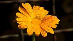 Měsíček lékařský (Calendula officinalis) kvete neúnavně po celé léto. Obzvláště pěkně vyniká ve společnosti levandule a brutnáku.