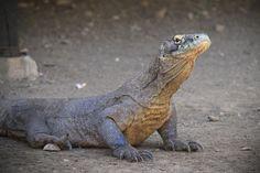 Pulau Komodo - Punya Indonesia