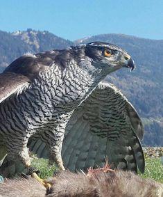Die größte Familie sind die Habichtartigen Greifvögel. Dazu gehören z.B. Adler, Bussarde, Milane, Habichte, Sperber und Altweltgeier. Die meisten Habichtartigen Greifvogelarten töten ihre Beute mit den Fängen und den dolchartigen Krallen. Sie verfügen über eine enorme Druckkraft (Grifftöter). Weitere Infos gibt es in der Adlerarena Burg Landskron am Ossiacher See bei Villach in Kärnten. Eines von Kärntens TOP Ausflugszielen mit Greifvogelpark & täglichen Flugshows. #animals #austria #hawk Owl, Animals, Horned Owl, Sparrowhawk, Northern Goshawk, Villach, Eagles, Road Trip Destinations, Animales