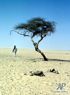 The Tree of Ténéré  or L'Abre du Ténéré was the world's most isolated tree - the solitary acacia, which grew in the Sahara desert in Niger, Africa, was the only tree within more than 250 miles (400 km) around.    The tree was the last surviving member of a group of acacias that grew when the desert wasn't as dry. When scientists dug a hole near the tree, they found its roots went down as deep as 120 feet (36 m) below to the water table!
