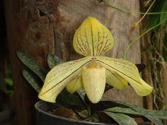 Paphiopedilum concolor var.longipetalum