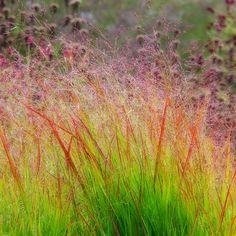 Panicum virgatum 'Rehbraun' Oudolph- artist of plants. Just beautiful!