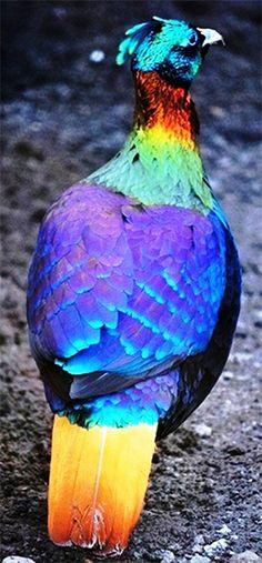 Himalayan Monal.Natsionalnaya bird of Nepal.