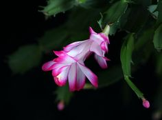 Read about how Christmas Cactus was discovered and how to care for them. Image Cactus, Cactus Images, Cactus Pictures, Pictures Images, Photos, Clusia, Echeveria, Christmas Cactus, Plantar